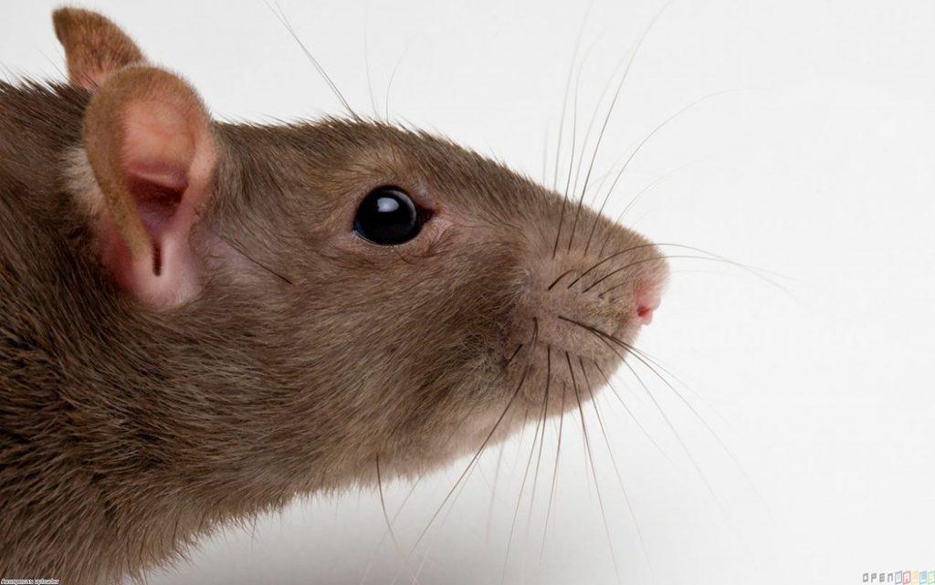 San Diego Rat Control